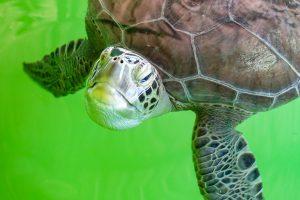 Daylan Loggerhead Turtles