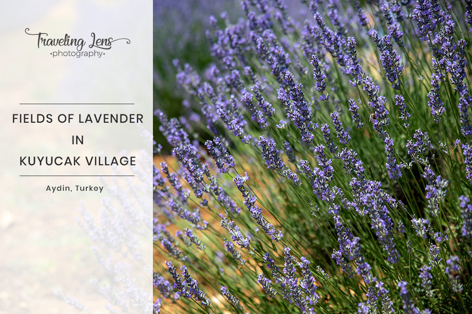 Lavender Fields Kuyucak Village