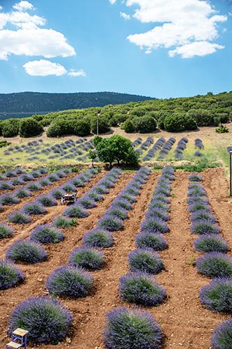 Rolling Hills of lavender