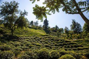 Tea Farms